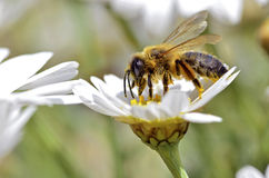 Honey bee feeding on anthemis flower Stock Photography