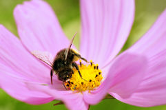 Honey bee feeding on cosmos flower Stock Photography