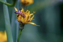 Honey bee feeding on a dandelion flower stock images