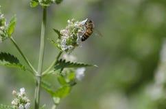 Honey Bee Feeding en el néctar de una flor del Catnip foto de archivo libre de regalías