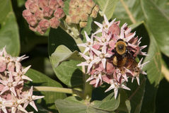 Honey Bee Feeding en la flor rosada del Milkweed Imágenes de archivo libres de regalías