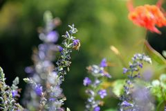 Honey Bee feeding on English Lavender. A picture of a honey bee feeding on some English Lavender which is in full bloom stock image