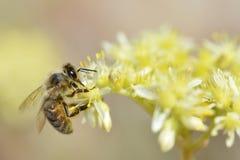 Honey bee feeding on flower Royalty Free Stock Photography