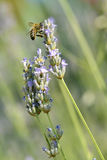 Honey bee feeding on lavender flower Stock Photography