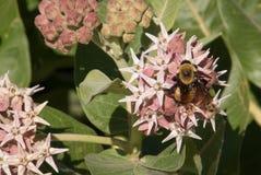 Honey Bee Feeding na flor cor-de-rosa do Milkweed Imagens de Stock Royalty Free