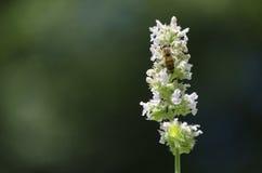 Honey Bee Feeding op Nectar van een Catnip-Bloem royalty-vrije stock foto