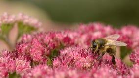 Honey bee feeding on sedum flower Stock Photo