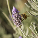 Honey bee licks lavender flower. A honey bee feeds on a lavender flower Royalty Free Stock Photos