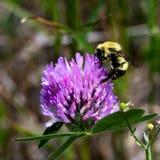 Honey Bee Feeds na flor do trevo vermelho fotos de stock royalty free