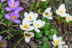 Honey bee and first spring crocus flowers stock images