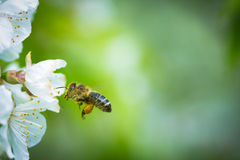 Honey bee in flight Royalty Free Stock Image