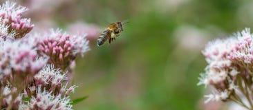 Honey Bee in flight Stock Images