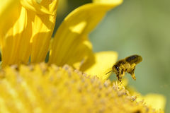 Honey bee in flight Stock Image
