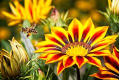 Honey bee in flight near yellow and orange flowers Royalty Free Stock Images