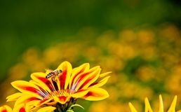Honey bee in flight near yellow and orange flowers Royalty Free Stock Photography