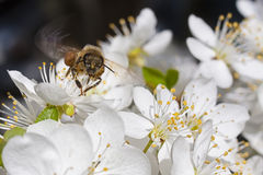 Honey Bee in flight Royalty Free Stock Photo