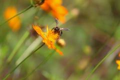 Honey Bee, Flora, Nectar, Bee stock images