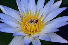 Honey Bee Flower Imágenes de archivo libres de regalías