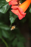 Honey Bee and Flower Royalty Free Stock Image