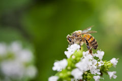Honey Bee on Flower royalty free stock images