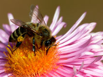 Honey Bee on Flower Royalty Free Stock Image