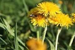 Honey Bee, Flower, Bee, Nectar stock photos