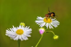 Honey Bee, Flower, Bee, Nectar stock photo