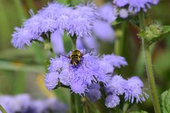 Honey Bee, Flower, Bee, Purple Royalty Free Stock Photos