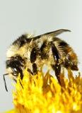 Honey bee on flower Stock Images
