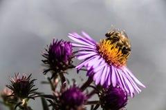 Honey Bee. Royalty Free Stock Photo
