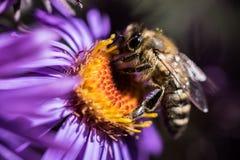 Honey Bee. Stock Image