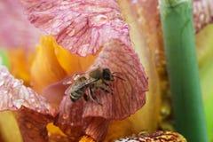 Honey bee on a flower closeup Stock Image
