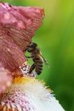 Honey bee on a flower closeup Stock Photos