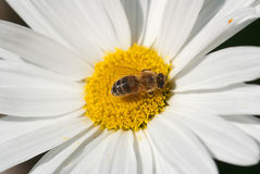 Honey bee. On a flower daisy Stock Images