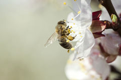 Honey bee on flower Stock Images