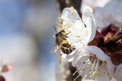 Honey bee on flower Stock Photos