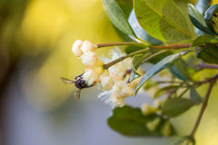Honey Bee on flower front view. Honey Bee sitting on flower front view, facing camera royalty free stock images