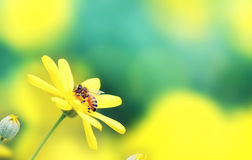 Honey Bee on a Flower. Bee gathering pollen on a daisy flower - green and yellow background Royalty Free Stock Photo
