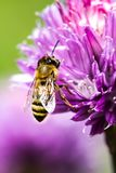 Honey bee on flower. At spring Stock Photo
