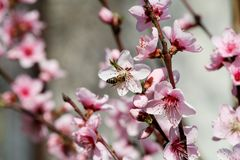 Honey bee on flower peach blossom, spring season. tree blossoms fruit. Flowers, buds, and branches of peach tree, in springtime. Flowering of trees and natural Royalty Free Stock Photo