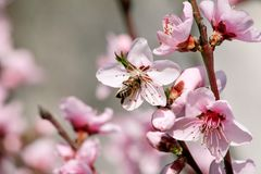 Honey bee on flower peach blossom, spring season. tree blossoms fruit. Flowers, buds, and branches of peach tree, in springtime. Flowering of trees and natural Stock Photos