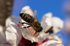 Honey Bee on Flower. Selective focus and shallow Depth of field stock photo