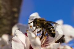 Honey Bee on Flower. 