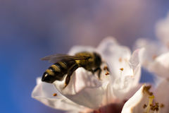 Honey Bee on Flower. Selective focus and shallow Depth of field stock image