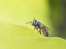 Honey bee on flower. Sweet flower Royalty Free Stock Images