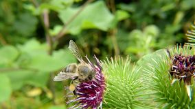 Honey bee on flower of a thistle in summer. In Germany stock video footage