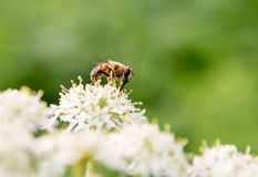 Honey bee on a flower. Honey bee on a white and yellow flower with a green background stock photography