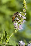 Honey Bee Flowering Basil. A worker honey bee gathering pollen from flowering basil plant.   There are three castes of bees: queens, which produce eggs; drones Stock Photo