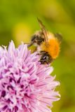 Honey bee on flowering chive. Close up of a pollen collecting Honey bee on pink flower of chive herb in bloom. Blurred vegetation in background royalty free stock photos