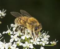 Honey Bee on flowering goutweed Stock Photo